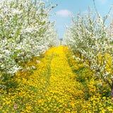 Οπωρώνας των ανθίζοντας δέντρων κερασιών Στοκ φωτογραφία με δικαίωμα ελεύθερης χρήσης