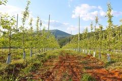 Οπωρώνας των νέων δέντρων μηλιάς στο πρώιμο ελατήριο Στοκ Εικόνες
