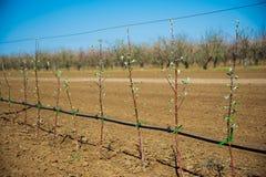 Οπωρώνας των νέων δέντρων μηλιάς την πρώιμη άνοιξη Στοκ εικόνα με δικαίωμα ελεύθερης χρήσης