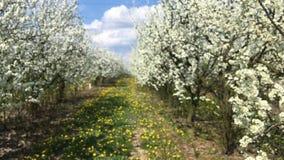 Οπωρώνας των οπωρωφόρων δέντρων την άνοιξη, Πολωνία απόθεμα βίντεο