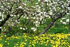 Οπωρώνας φρούτων στην άνθιση με τις κίτρινες πικραλίδες κάτω από Στοκ εικόνα με δικαίωμα ελεύθερης χρήσης