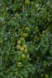 οπωρώνας φύλλων καρπών κλάδων μήλων μήλων Κλάδος με τα μήλα Άφθονος κλάδος με τα μήλα στοκ φωτογραφίες