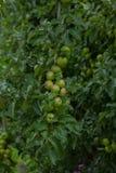 οπωρώνας φύλλων καρπών κλάδων μήλων μήλων Κλάδος με τα μήλα Άφθονος κλάδος με τα μήλα στοκ εικόνες με δικαίωμα ελεύθερης χρήσης