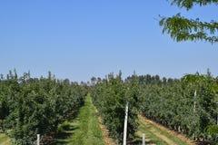 οπωρώνας φύλλων καρπών κλάδων μήλων μήλων Σειρές των δέντρων και τα φρούτα του εδάφους κάτω από το τ Στοκ εικόνες με δικαίωμα ελεύθερης χρήσης