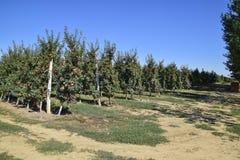 οπωρώνας φύλλων καρπών κλάδων μήλων μήλων Σειρές των δέντρων και τα φρούτα του εδάφους κάτω από το τ Στοκ Εικόνα