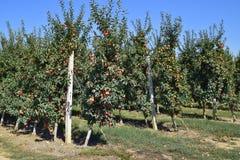 οπωρώνας φύλλων καρπών κλάδων μήλων μήλων Σειρές των δέντρων και τα φρούτα του εδάφους κάτω από το τ Στοκ εικόνα με δικαίωμα ελεύθερης χρήσης