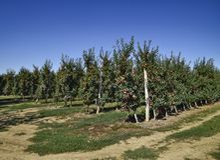 οπωρώνας φύλλων καρπών κλάδων μήλων μήλων Σειρές των δέντρων και τα φρούτα του εδάφους κάτω από το τ Στοκ φωτογραφία με δικαίωμα ελεύθερης χρήσης