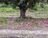 οπωρώνας φύλλων καρπών κλάδων μήλων μήλων Σειρές των δέντρων και τα φρούτα του εδάφους κάτω από το τ Στοκ Φωτογραφίες
