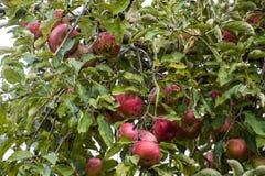 οπωρώνας φύλλων καρπών κλάδων μήλων μήλων Σειρές των δέντρων και τα φρούτα του εδάφους κάτω από το τ Στοκ Εικόνες