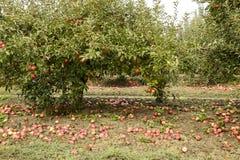 οπωρώνας φύλλων καρπών κλάδων μήλων μήλων Σειρές των δέντρων και τα φρούτα του εδάφους κάτω από το τ Στοκ Φωτογραφία
