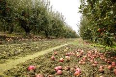 οπωρώνας φύλλων καρπών κλάδων μήλων μήλων Σειρές των δέντρων και τα φρούτα του εδάφους κάτω από το τ Στοκ φωτογραφίες με δικαίωμα ελεύθερης χρήσης