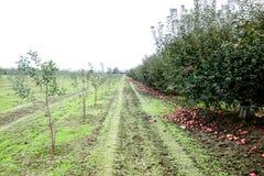 οπωρώνας φύλλων καρπών κλάδων μήλων μήλων Σειρές των δέντρων και τα φρούτα του εδάφους κάτω από τα δέντρα Στοκ Φωτογραφίες