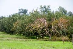 οπωρώνας φύλλων καρπών κλάδων μήλων μήλων Σειρές των δέντρων και τα φρούτα του εδάφους κάτω από τα δέντρα Στοκ Εικόνα