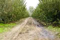 οπωρώνας φύλλων καρπών κλάδων μήλων μήλων Σειρές των δέντρων και τα φρούτα του εδάφους κάτω από τα δέντρα Στοκ φωτογραφία με δικαίωμα ελεύθερης χρήσης