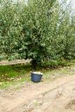 οπωρώνας φύλλων καρπών κλάδων μήλων μήλων Σειρές των δέντρων και τα φρούτα του εδάφους κάτω από τα δέντρα Στοκ φωτογραφίες με δικαίωμα ελεύθερης χρήσης