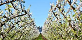 οπωρώνας φύλλων καρπών κλάδων μήλων μήλων Στοκ εικόνα με δικαίωμα ελεύθερης χρήσης