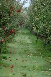 οπωρώνας φύλλων καρπών κλάδων μήλων μήλων Στοκ Εικόνα