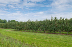 οπωρώνας φύλλων καρπών κλάδων μήλων μήλων Στοκ Φωτογραφία