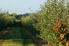 οπωρώνας φύλλων καρπών κλάδων μήλων μήλων Στοκ εικόνες με δικαίωμα ελεύθερης χρήσης