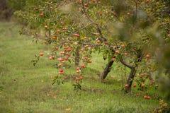 Οπωρώνες της Apple το φθινόπωρο Στοκ φωτογραφία με δικαίωμα ελεύθερης χρήσης