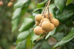 Οπωρώνες Longan - τροπικά φρούτα στοκ φωτογραφία με δικαίωμα ελεύθερης χρήσης