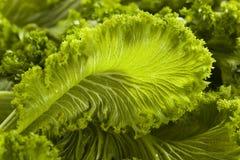 Οργανικά ακατέργαστα πράσινα μουστάρδας Στοκ Εικόνες