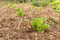 οργανικά λαχανικά Ανάπτυξη μαρουλιού Iceburg Fillie στον κήπο Στοκ εικόνες με δικαίωμα ελεύθερης χρήσης