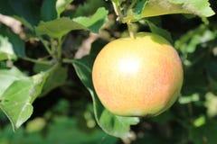 Οργανικά κίτρινα και κόκκινα μήλα στον οπωρώνα μήλων Στοκ Εικόνες