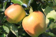 Οργανικά κίτρινα και κόκκινα μήλα στον οπωρώνα μήλων Στοκ Φωτογραφίες
