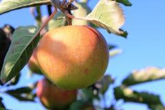 Οργανικά κίτρινα και κόκκινα μήλα στον οπωρώνα μήλων Στοκ εικόνες με δικαίωμα ελεύθερης χρήσης