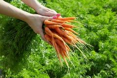 Οργανικά καρότα άνοιξη στα χέρια μιας γυναίκας στοκ εικόνες