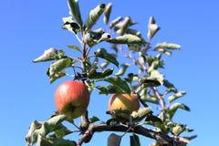 Οργανικά κόκκινα μήλα στον οπωρώνα μήλων Στοκ Φωτογραφία