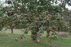 Οργανικά κόκκινα μήλα έτοιμα να επιλέξουν στους κλάδους δέντρων οπωρώνας φύλλων καρπών κλάδων μήλων μήλων Στοκ Εικόνα