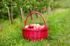 Οργανικά κόκκινα μήλα σε ένα καλάθι υπαίθριο. Οπωρώνας. Κήπος φθινοπώρου. Στοκ φωτογραφίες με δικαίωμα ελεύθερης χρήσης