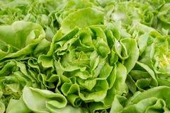 Οργανικά λαχανικά στον κήπο στοκ φωτογραφίες με δικαίωμα ελεύθερης χρήσης
