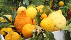οργανικά λεμόνια που καλλιεργούνται χωρίς φυτοφάρμακο στη Μεσόγειο στοκ φωτογραφία με δικαίωμα ελεύθερης χρήσης