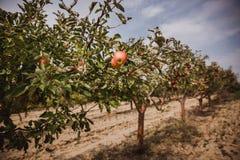 Οργανικά μήλα που κρεμούν από έναν κλάδο δέντρων σε έναν οπωρώνα μήλων ουρανός σύννεφων στοκ εικόνες