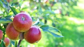 Οργανικά μήλα στον οπωρώνα μήλων απόθεμα βίντεο