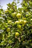 Οργανικά μήλα στο δέντρο μηλιάς Στοκ Εικόνες