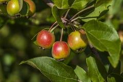 Οργανικά μήλα στο δέντρο μηλιάς Στοκ Φωτογραφία