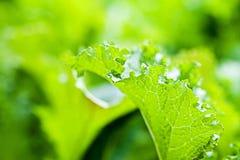 Οργανικά πράσινα μουστάρδας Στοκ Φωτογραφίες