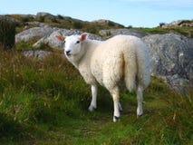 οργανικά πρόβατα καλλιέργειας στοκ φωτογραφία