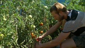 Οργανικά φρέσκα λαχανικά και φρούτα Το άτομο συγκομίζει τις ντομάτες στον εγχώριο κήπο φιλμ μικρού μήκους