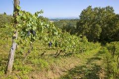 Οργανικές άμπελοι σταφυλιών για την παραγωγή κρασιού στην Τοσκάνη στοκ φωτογραφία με δικαίωμα ελεύθερης χρήσης