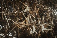 Οργανικές ινδικές Coleus ρίζες barbatus Plectranthus Στοκ εικόνα με δικαίωμα ελεύθερης χρήσης