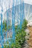 Οργανικές ντομάτες που μεγαλώνουν σε ένα χειρωνακτικό θερμοκήπιο στοκ φωτογραφίες