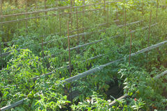 Οργανικές ντομάτες που ωριμάζουν στον ήλιο υπαίθρια στον κοινοτικό κήπο Μια σειρά των δεμένων ντοματών Στοκ εικόνες με δικαίωμα ελεύθερης χρήσης