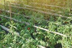 Οργανικές ντομάτες που ωριμάζουν στον ήλιο υπαίθρια στον κοινοτικό κήπο Μια σειρά των δεμένων ντοματών Στοκ Εικόνα