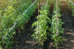 Οργανικές ντομάτες που ωριμάζουν στον ήλιο υπαίθρια στον κοινοτικό κήπο Μια σειρά των δεμένων ντοματών Στοκ φωτογραφία με δικαίωμα ελεύθερης χρήσης