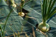 Οργανικές συγκομιδές κρεμμυδιών Στοκ εικόνες με δικαίωμα ελεύθερης χρήσης